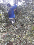 Mighty Pruners - Pruning Services | Harvesting Service | South Africa, Other Services, Hoedspruit, Limpopo