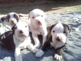 American Pitbull Terrier Puppies For Sale -, Dogs & Puppies For Sale, Rietvalleirand, Gauteng