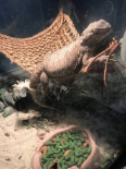Bearded Dragon, Other Animals For Sale, Lakeside Wc, Western Cape