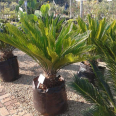 Palms, Cycads and Tropical Plants - For Sale, Gardening Tools & Plants For Sale, Honeydew, Gauteng
