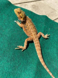 bearded dragon, Other Animals For Sale, Bishopscourt, Western Cape