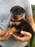 Rottweiler Puppies For Sale *KUSA Registered*, Dogs & Puppies For Sale, Polokwane, Limpopo