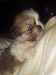 Pekingese Puppies For Sale -, Dogs & Puppies For Sale, Derby, North West