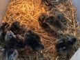 Eggs Fertile Chicken Hatching, General Items For Sale, Polokwane, Limpopo