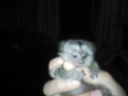 Marmoset, Monkeys For Sale, Doornpoort, Gauteng