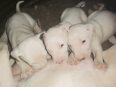 Bull Terrier Puppy For Sale -, Dogs & Puppies For Sale, Rustenburg, North West