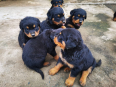 Rottweiler Puppies For Sale -, Dogs & Puppies For Sale, Shallcross, KwaZulu-Natal
