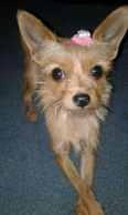 Tan / light brown Female Yorkie, Lost Pets, Germiston, Gauteng