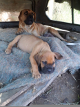 Boerboel Puppies For Sale -, Dogs & Puppies For Sale, Durban, KwaZulu-Natal