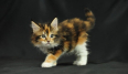Male and Female Maine Coon Kitten - For Sale, Cats & Kittens For Sale, Pretoria, Gauteng