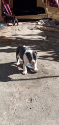 American Pitbull Terrier Puppies For Sale -, Dogs & Puppies For Sale, Chatsworth, KwaZulu-Natal