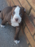 American Pitbull Terrier Puppies For Sale -, Dogs & Puppies For Sale, Pretoria, Gauteng