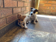 Jack Russell Terrier Puppies For Sale -, Dogs & Puppies For Sale, Menlo Park, Gauteng