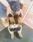 Rottweiler Puppies For Sale -, Dogs & Puppies For Sale, Phoenix, KwaZulu-Natal
