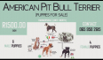 American Pitbull Terrier Puppies For Sale -, Dogs & Puppies For Sale, Hammersdale, KwaZulu-Natal