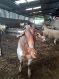 Male & Female Meatmaster Sheep and boer goat - Sheep For Sale, Farm Animals For Sale, Bothaville, Free State