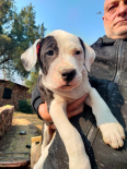 American Pitbull Terrier Puppies For Sale -, Dogs & Puppies For Sale, Centurion, Gauteng