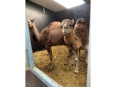 Male & Female Camel - Other Farm Animals For Sale, Farm Animals For Sale, Capri Village, Western Cape