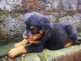 Rottweiler Puppies For Sale -, Dogs & Puppies For Sale, Queensburgh, KwaZulu-Natal