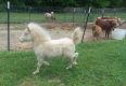 Male & Female Ponies - Horses For Sale, Farm Animals For Sale, Hennenman, Free State