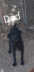 Boerboel Puppies For Sale -, Dogs & Puppies For Sale, Malmesbury, Western Cape