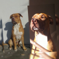 American Pitbull Terrier Puppies For Sale -, Dogs & Puppies For Sale, Cape Town, Western Cape