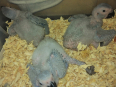 African grey parrot, Birds For Sale, Phoenix, KwaZulu-Natal