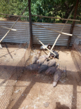 Male & Female Ginuea Fowls - Poultry For Sale, Farm Animals For Sale, Centurion, Gauteng