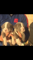 American Bully Puppies For Sale -, Dogs & Puppies For Sale, Kempton Park, Gauteng