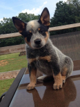 Australian Cattle Dog Puppies For Sale *KUSA Registered*, Dogs & Puppies For Sale, Potchefstroom, North West