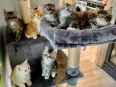 Male and Female Maine Coon Kitten - For Sale, Cats & Kittens For Sale, East London, Eastern Cape