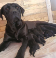 Boerboel Puppies For Sale -, Dogs & Puppies For Sale, Bloemfontein, Free State