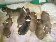 American Pitbull Terrier Puppies For Sale -, Dogs & Puppies For Sale, Durban, KwaZulu-Natal