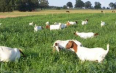 Male & Female Goats for sale - Goats For Sale, Farm Animals For Sale, Tonteldoos, Limpopo