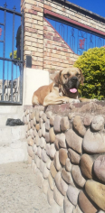 Boerboel Dog For Sale -, Dogs & Puppies For Sale, Durban, KwaZulu-Natal