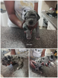 Great Dane Puppies For Sale -, Dogs & Puppies For Sale, Kuils River, Western Cape